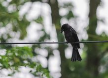 Zwarte Drongo stock foto