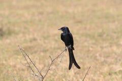 Zwarte Drongo Royalty-vrije Stock Afbeeldingen