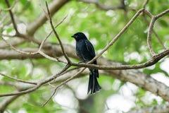 Zwarte drongo die nog op een tak neerstrijken stock fotografie