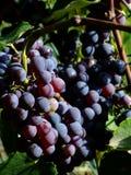 Zwarte druiven Stock Foto