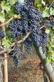 Zwarte druiven Stock Afbeeldingen