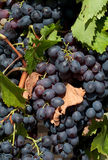 Zwarte Druiven Royalty-vrije Stock Afbeelding