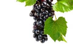 Zwarte druiven met groene bladeren Stock Foto's