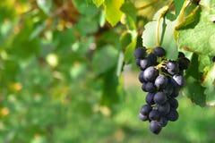 Zwarte druiven op een wijnstok Stock Foto