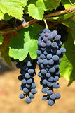 Zwarte druiven op wijnstok royalty-vrije stock afbeelding