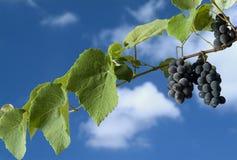 Zwarte druiven op wijnstok Royalty-vrije Stock Foto's