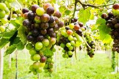 Zwarte druiven in wijngaard stock afbeelding