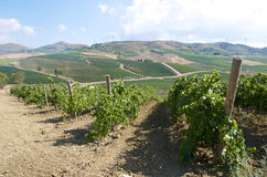 Zwarte Druiven in wijngaarden Royalty-vrije Stock Fotografie