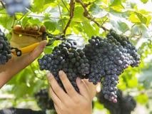 Zwarte druivenoogst Royalty-vrije Stock Afbeeldingen