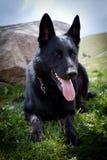 Zwarte Duitse herder Stock Foto's
