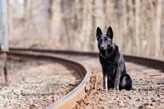 Zwarte Duitse herder Stock Foto