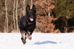 Zwarte Duitse herder in de winter stock foto