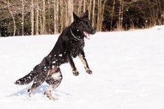 Zwarte Duitse herder in de winter royalty-vrije stock afbeelding