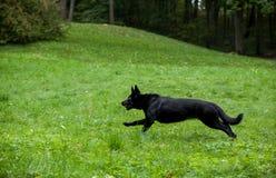 Zwarte Duitse herder Dog Running op het gras Stock Fotografie