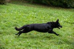 Zwarte Duitse herder Dog Running op het gras Open Mond, Tong uit stock fotografie