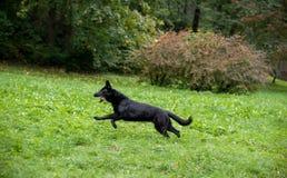 Zwarte Duitse herder Dog Running op het gras Open Mond, Tong uit Royalty-vrije Stock Afbeeldingen