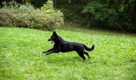 Zwarte Duitse herder Dog Running op het gras Open Mond, Tong uit royalty-vrije stock afbeelding
