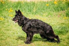 Zwarte Duitse herder Dog Sit In Green Grass Elzassisch Wolf Dog Stock Foto
