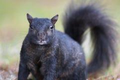 Zwarte eekhoorn royalty-vrije stock afbeeldingen