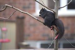 Zwarte eekhoorn Stock Foto