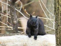 Zwarte eekhoorn benieuwd zijn die of of niet heb ik pinda's royalty-vrije stock foto
