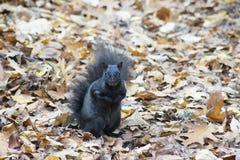 Zwarte eekhoorn, de herfstbladeren Stock Afbeelding