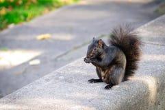 Zwarte eekhoorn die een pinda eten Royalty-vrije Stock Afbeelding