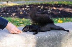 Zwarte eekhoorn die uit een hand eten Stock Afbeelding