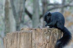 Zwarte Eekhoorn op een boomstomp stock afbeeldingen