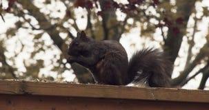 Zwarte eekhoorn op een omheining stock videobeelden
