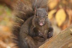 Zwarte eekhoorn, roze tong Stock Afbeeldingen