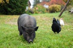 Zwarte een varken in de werf royalty-vrije stock afbeelding