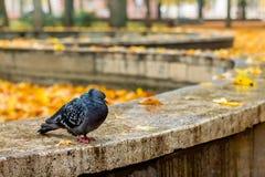 Zwarte eenzame duif op de achtergrond van gele bladeren in het park royalty-vrije stock afbeeldingen