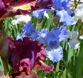 Zwarte en Blauwe Iris Stock Fotografie