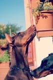 Zwarte en Bruine Dobermann-ijdelheid Stock Foto