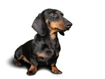 Zwarte en bruine hond (tekkel)  stock fotografie