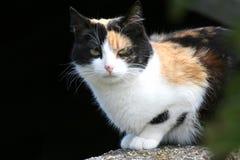 Zwarte en bruine kat Stock Fotografie
