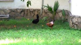 Zwarte en bruine kip die iets in het gras pikken stock videobeelden