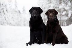 Zwarte en Bruine Labradors Stock Foto