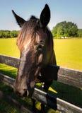 Zwarte en bruine paarden in box en weiland Royalty-vrije Stock Fotografie