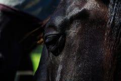 Zwarte en bruine paarden in box en weiland Stock Afbeelding