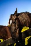 Zwarte en bruine paarden in box en weiland Stock Foto