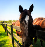 Zwarte en bruine paarden in box en weiland Stock Foto's