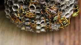 Zwarte en Gele Horzels die Bijenkorfnest bouwen stock video