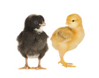 Zwarte en gele kippen Royalty-vrije Stock Foto