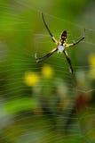 Zwarte en gele spin dichte omhooggaand stock afbeelding