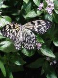 Zwarte en Gele Vlinder Stock Foto