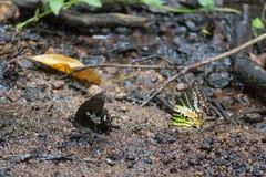 Zwarte en gele vlinder op het strand Stock Foto's