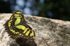 Zwarte en groene vlinder Stock Foto's