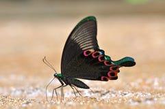 Zwarte en Groene Vlinder stock fotografie